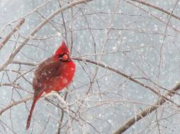 Red Cardinal in Snow